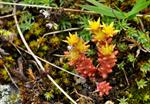 Annual Stonecrop (Sedum annuum)